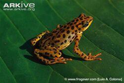Rio-Pescado-stubfoot-toad-sitting-on-a-leaf