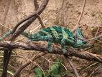 Veiled chameleon, Boston