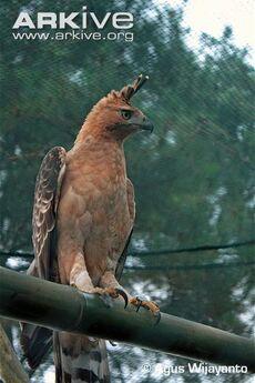 Javan-hawk-eagle-perched
