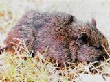 Chilean Rock Rat