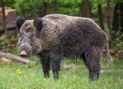 Male Central European boar (S. s. scrofa)