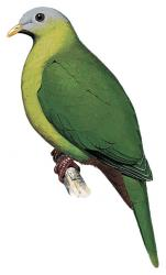020 287 04 20 222 Ramphiculus mangoliensis