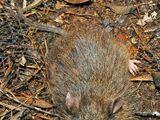 Hamiguitan Hairy-tailed Rat