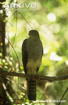 Madagascar Sparrowhawk