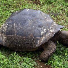 A Galapagos Tortoise.