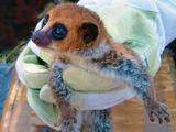 Lavasoa Dwarf Lemur
