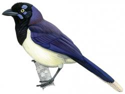 14 31 029 Cyanocorax affinis