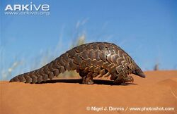 Ground-pangolin-walking