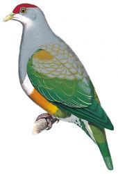 04 21 230 ptilinopus wallacii m