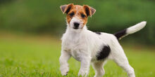 Jack-Russell-Terrier-2