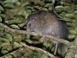 Ryukyu Long-tailed Giant Rat