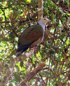Greyheaded imperial pigeon mpm