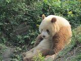 Qinling Panda