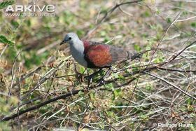 Marquesan-ground-dove-perched-side-view