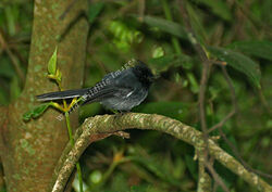 Elminia albonotata White-tailed Crested-flycatcher c Greg and Yvonne Dean WorldWildlifeImages com