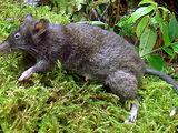 Banahao Shrew Rat