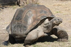 1200px-Galapagos giant tortoise Geochelone elephantopus