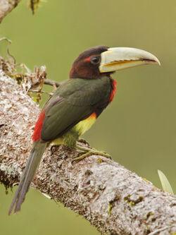 Glenn-bartley-ivory-billed-aracari-pteroglossus-azara-perched-on-a-branch-napo-river-in-amazonian-ecuador