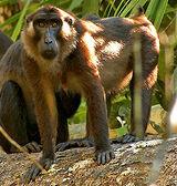 Siberut Macaque