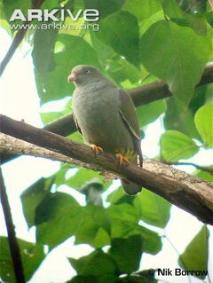 Sao-Tome-green-pigeon-perched-on-branch