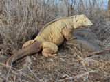 Barrington Land Iguana