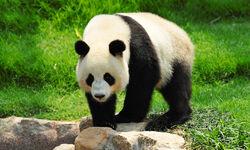 Giant Panda