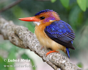 African-pygmy-kingfisher-05a20076