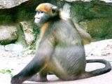Gray Snub-nosed Monkey