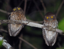 Species-Ninox-burhani-1