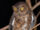 Sula Scops Owl
