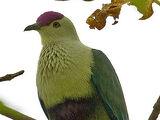 Crimson-crowned Fruit Dove