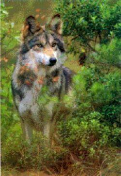 Canis lupus monstrabilis