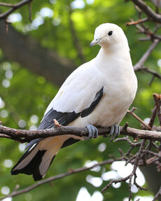 800px-Pied Imperial Pigeon 04