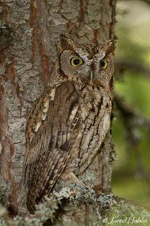 Western screech owl jared hobbs-1