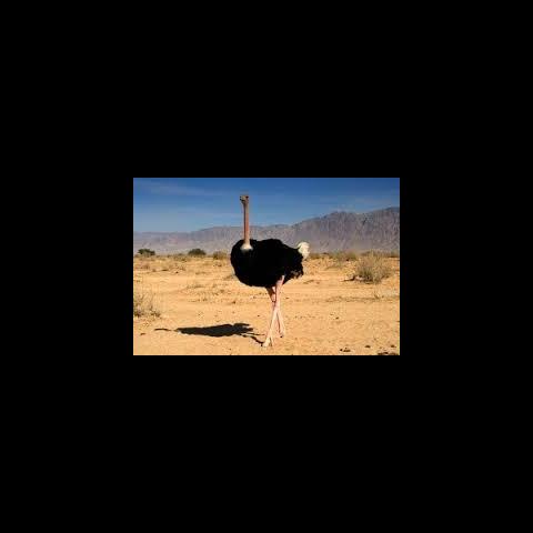 An Arabian Ostrich
