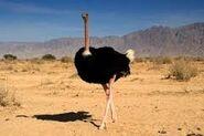 Arabian Ostrich.2