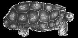 Cylindraspis peltastes 1770