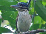 Hook-billed Kingfisher