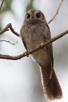 Australian Owlet-nightjar (JB)