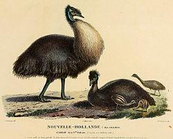 Baudin emus
