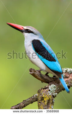 Stock-photo-woodland-kingfisher-halcyon-senegalensis-south-africa-3568968