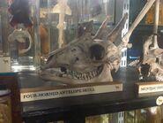 Tetracerus quadricornis skull