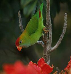 550px-8718ceylon hanging parrot 1