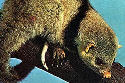 Black-shouldered-opossum