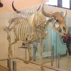 Bos gaurus grangeri skeleton