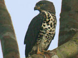 Congo Serpent Eagle