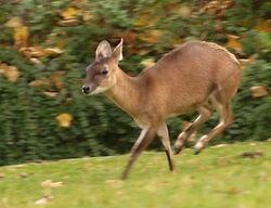 Four-horned Antelope