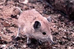 Namib-round-eared-sengi-Macroscelides-flavicaudatus-Wlotzkasbaken-Namibia-May-2000-Photo-G-Rathbun-800