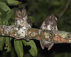 Rinjani Scops Owl Otus jolandae, Lombok - journal.pone.0053712.g001-right
