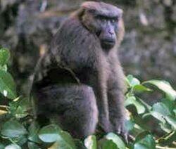 Mâle macaque maure (Macaca maura)
